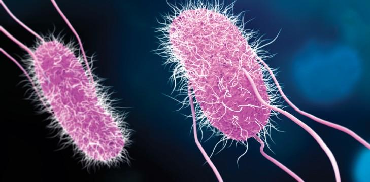 The listeria bacterium
