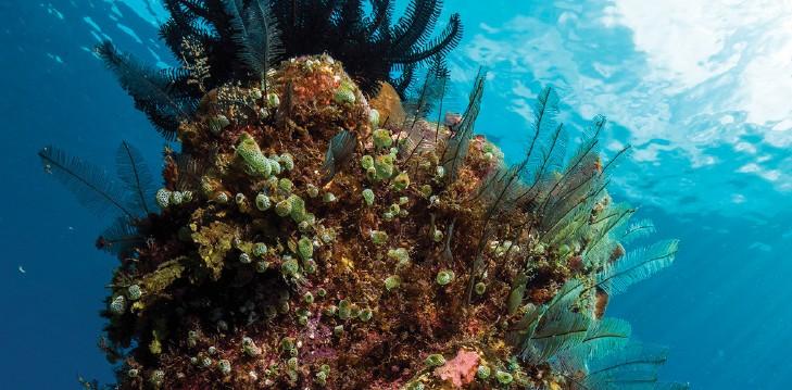 ascidians (sea squirts)